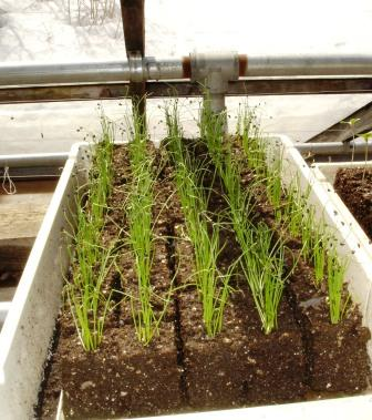Onions in soil blocks